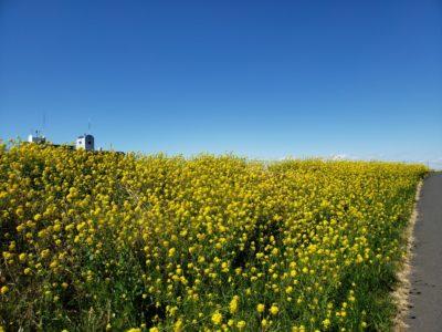 江戸川サイクリングロードの菜の花 その1