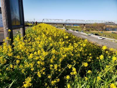 江戸川サイクリングロードの菜の花 その2